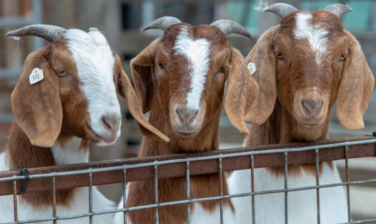 Boer goats at Hartley Court Farm